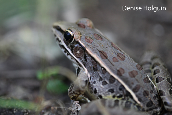 Frog Season